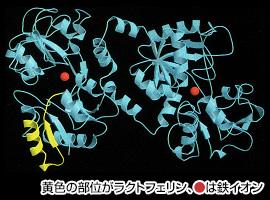 黄色の部位がラクトフェリン、●は鉄イオン